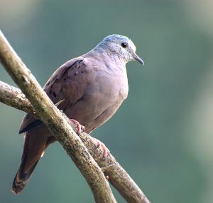 Tortolita chocolatera o rojiza - Ruddy Ground Dove - Columbina talpacoti