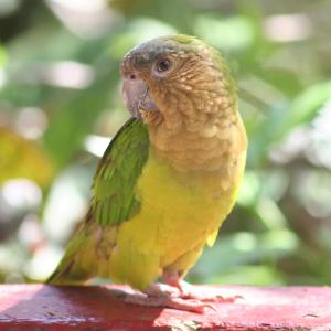 Perico cara sucia - Brown-throated Parakeet - Eupsittula pertinax
